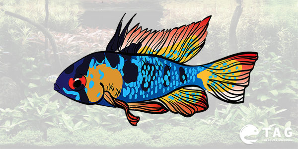 Blue Ram Cichlid Care Guide The Aquarium Guide