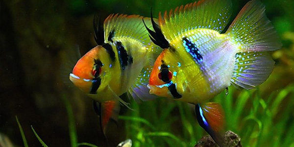 German Ram Cichlids Blue Ram Cichlid Care Guide The