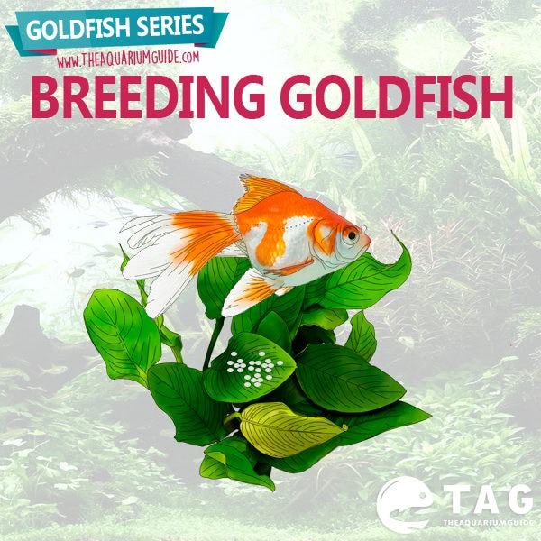 Goldfish Series - Breeding Goldfish