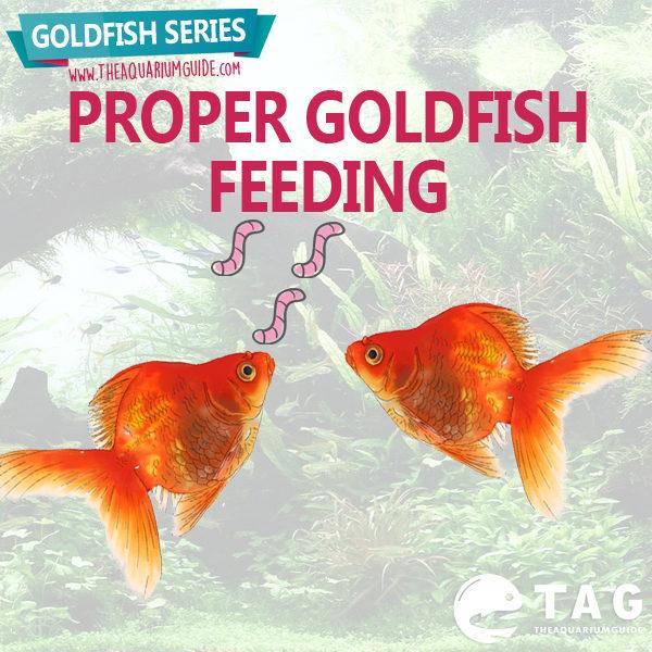 Goldfish series proper goldfish feeding the aquarium guide for Betta fish feeding