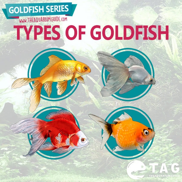Goldfish series types of goldfish the aquarium guide for What fish can live with goldfish in a pond