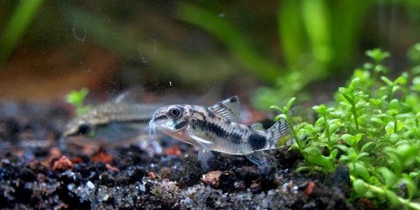 10 Gallon Aquarium Fish - Dwarf Corydoras
