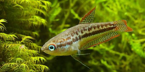 10 Gallon Aquarium Fish - Sparkling Gourami