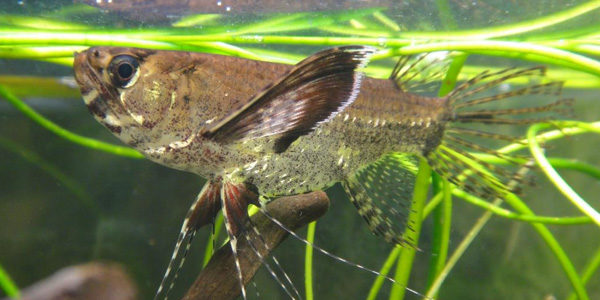 Freshwater Butterfly Fish