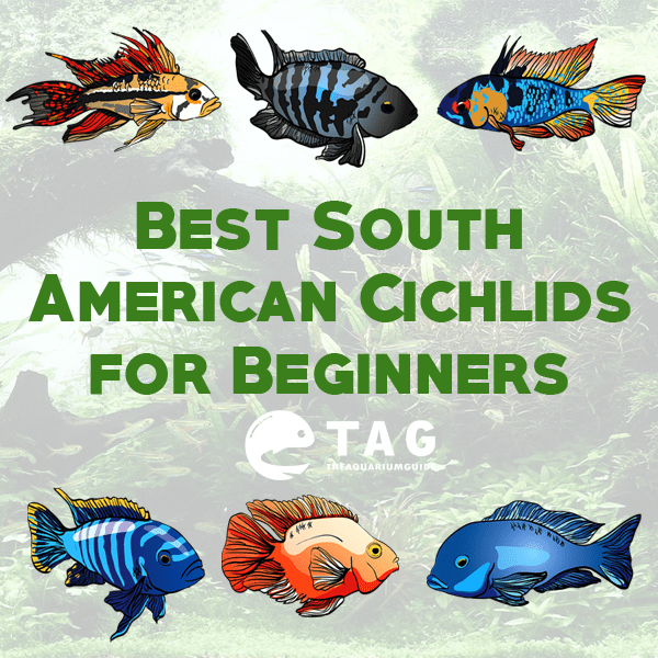Best South American Cichlids for Beginners