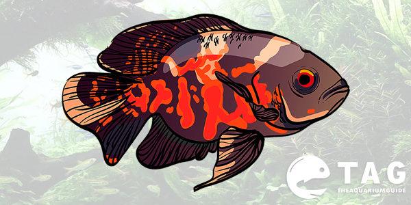 Oscar Fish Care Guide