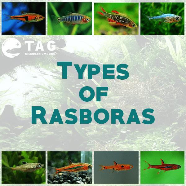 Types of Rasboras