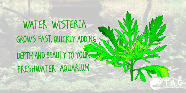 Water Wisteria grows fast, quickly adding depth and beauty to your freshwater aquarium