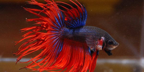 how to train your betta fish to do tricks