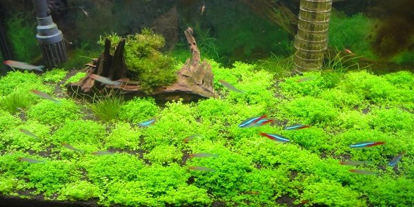 Tips to Creating a Carpet in Your Planted Tank | The