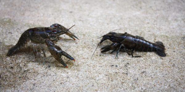 Dwarf Crayfish