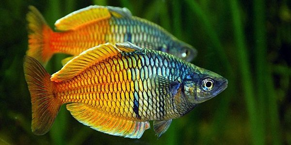 Ten most exotic freshwater fish the aquarium guide for Rare freshwater aquarium fish