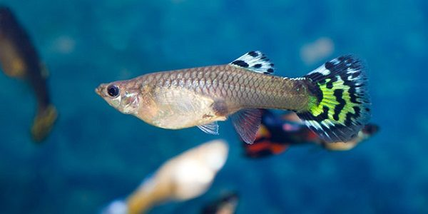 Types of guppies the aquarium guide for Guppy fish food