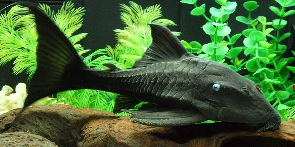 Different types of bottom feeder fish the aquarium guide for Bottom feeders fish