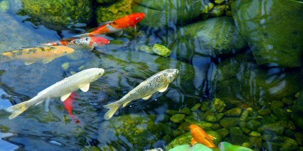 Koi fish care the aquarium guide for Koi pond size