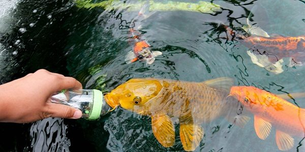 Tips to prevent fish from becoming ill the aquarium guide for Koi fish pond maintenance