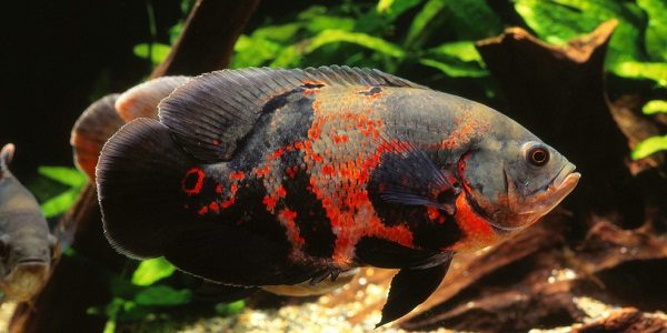 Tips and facts about the oscar fish the aquarium guide for Pictures of oscar fish