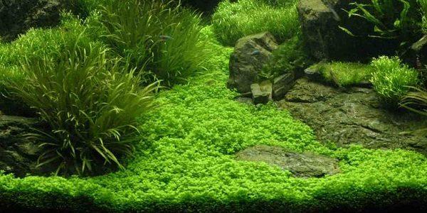 Staurogyne Repens Carpet The Aquarium Guide