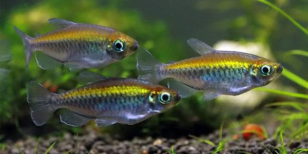 live bearing fish