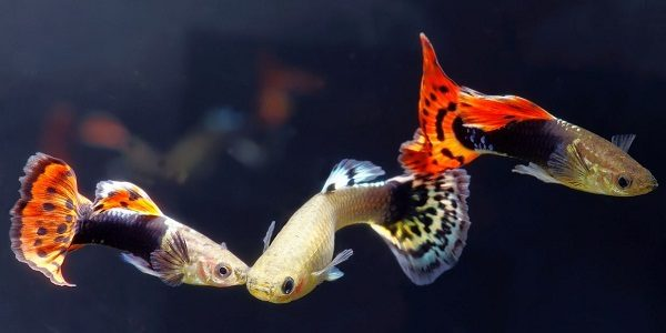Breeding Guppies