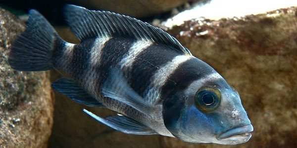 Africa Cichlids