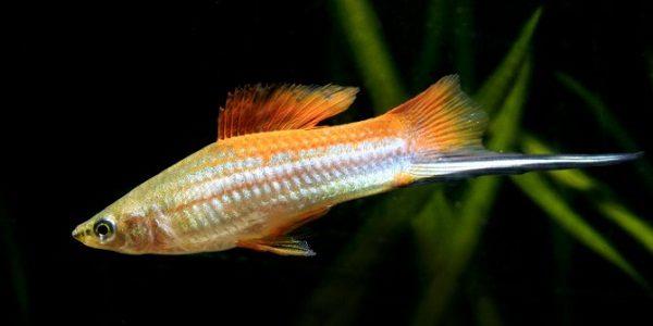 KOI SANKE SWORDTAILS - 1 MALE / 1 FEMALE | Tropical fish aquarium ... | 300x600
