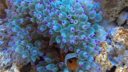 Bubble Tip Anemone