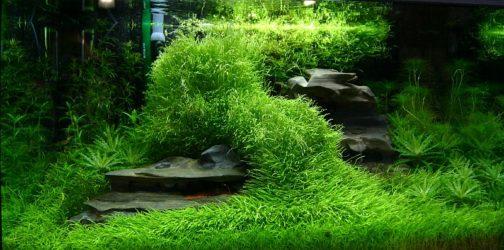 Utricularia Graminifolia plants