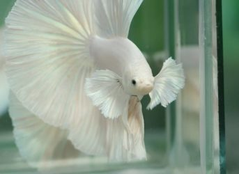 elephant ear betta