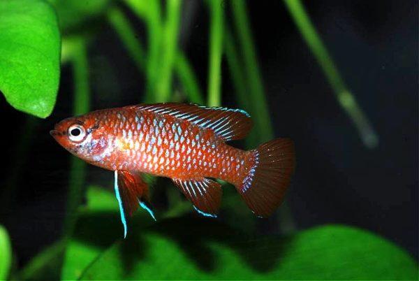 freshwater nano fish