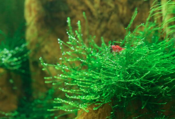 java moss with shrimp
