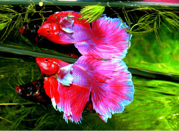 live betta fish plants