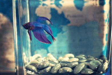 Bluish purple betta fish