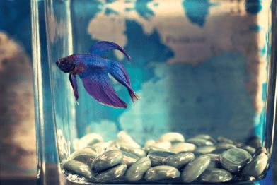 Bluish purple betta fish