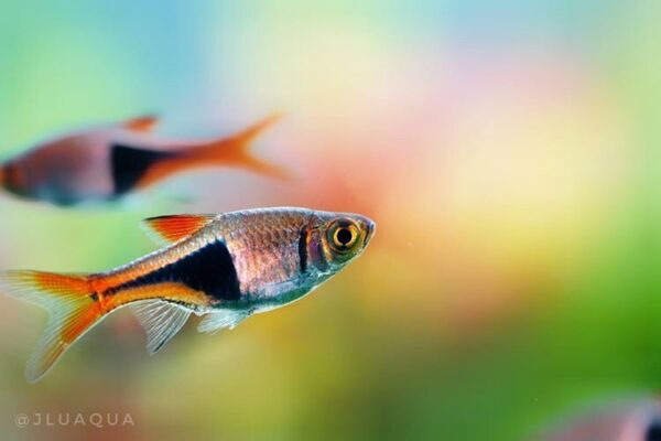 Harlequin Rasbora fishes