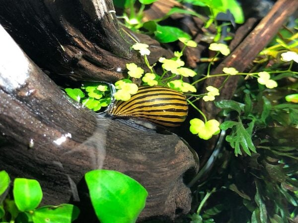 Zebra Nerite Snail in plants