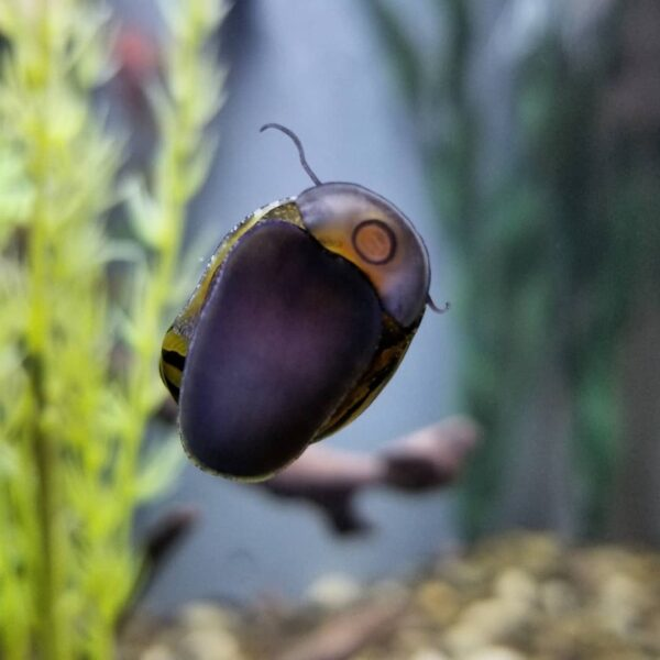Zebra Nerite Snail in aquarium glass wall