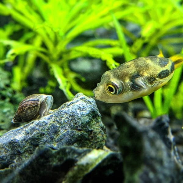 bladder snail with a pea puffer inside aquarium