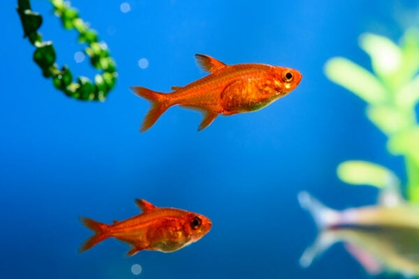 Ember tetras in fresh water