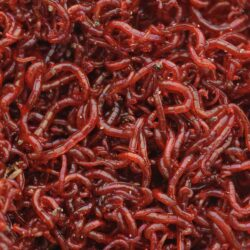 Bloodworms is common food for aquarium fish