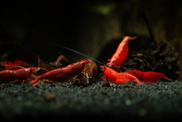 Group of red cherry shrimps