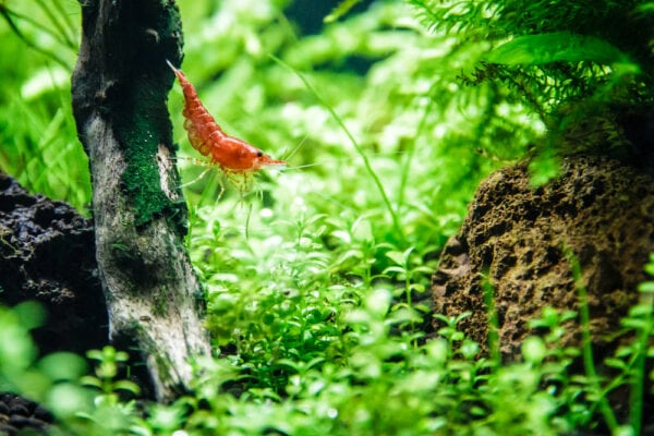 A Cherry Shrimp surrounded by aquarium plants