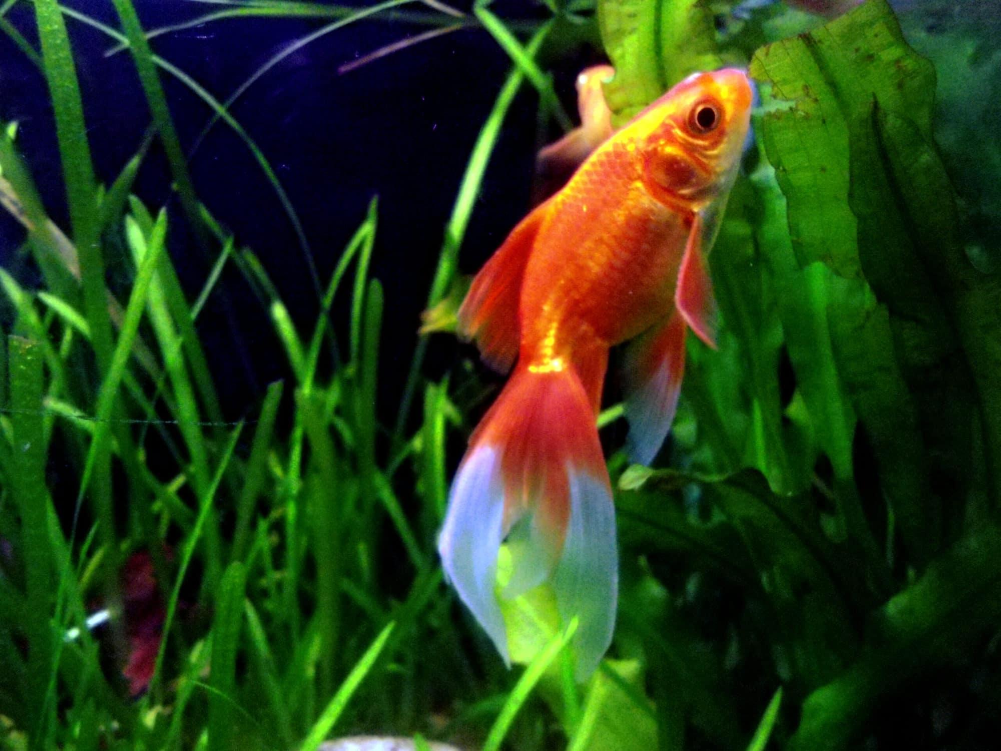 Carassius Auratus Goldfish at Meenalokam aquarium
