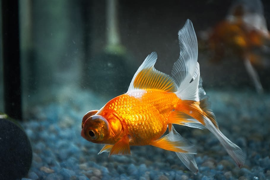 Goldfish swimming around in a tank
