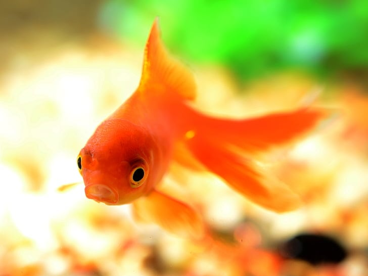 Goldfish underwater