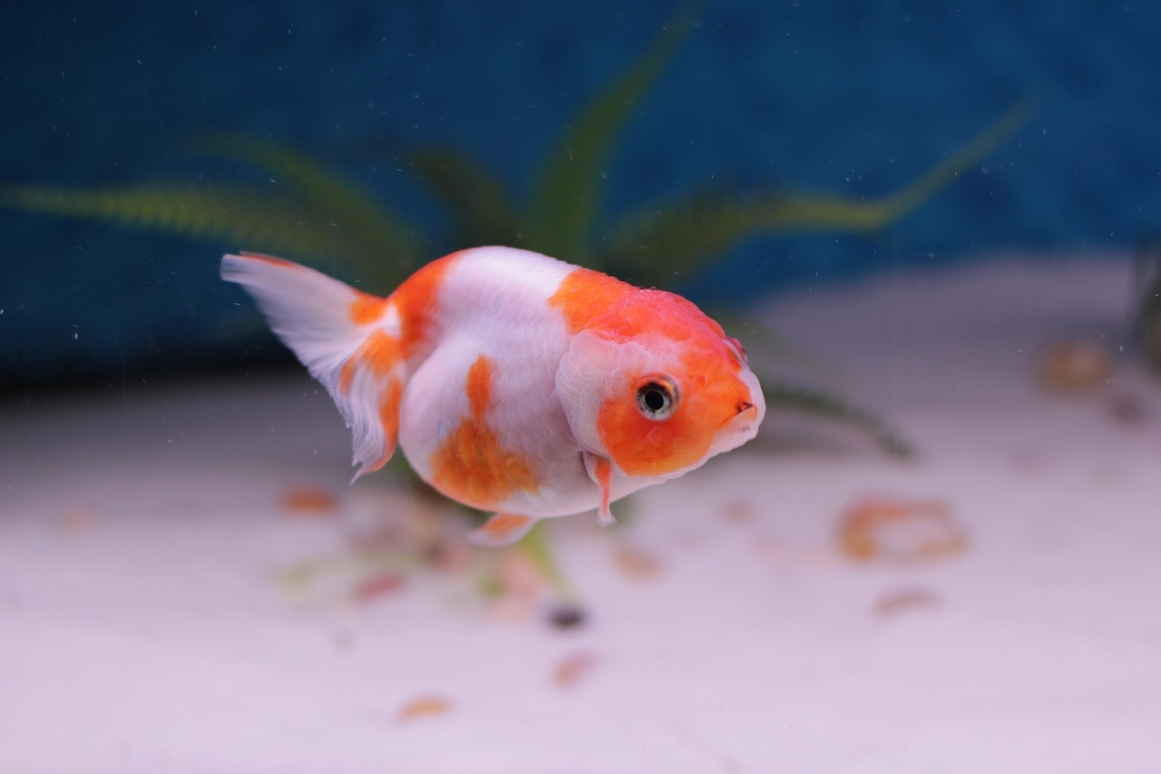 Goldfish swimming around aquarium