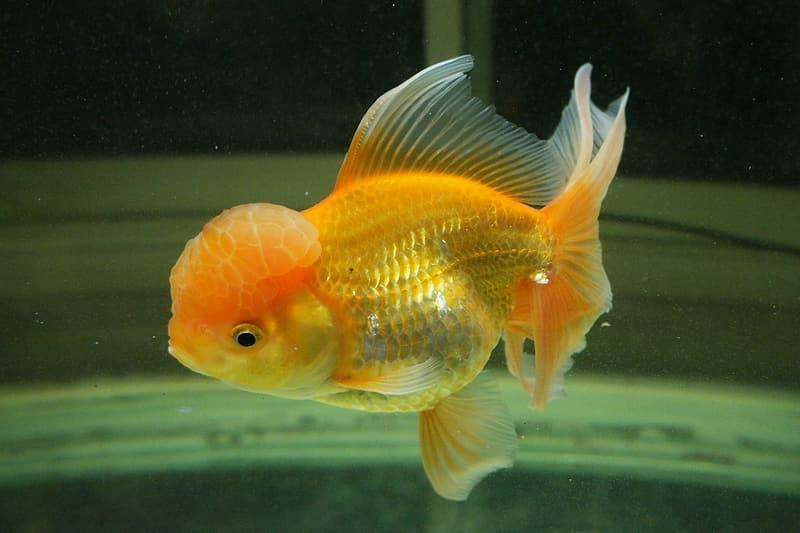 Oranda Goldfish underwater