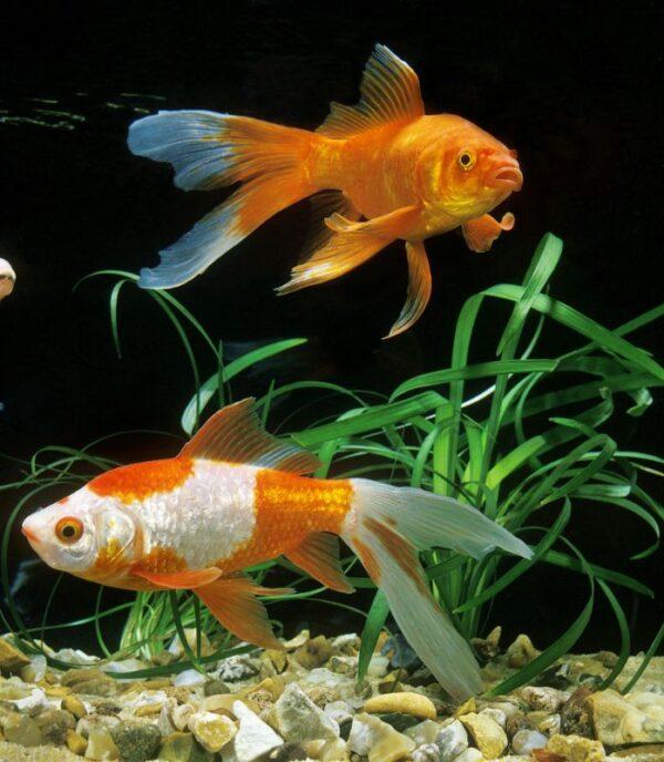 Comet Goldfish Care Guide The Aquarium Guide