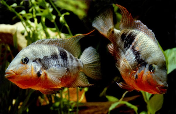 Firemouth Cichlid or Firemouth Meeki, thorichthys meeki