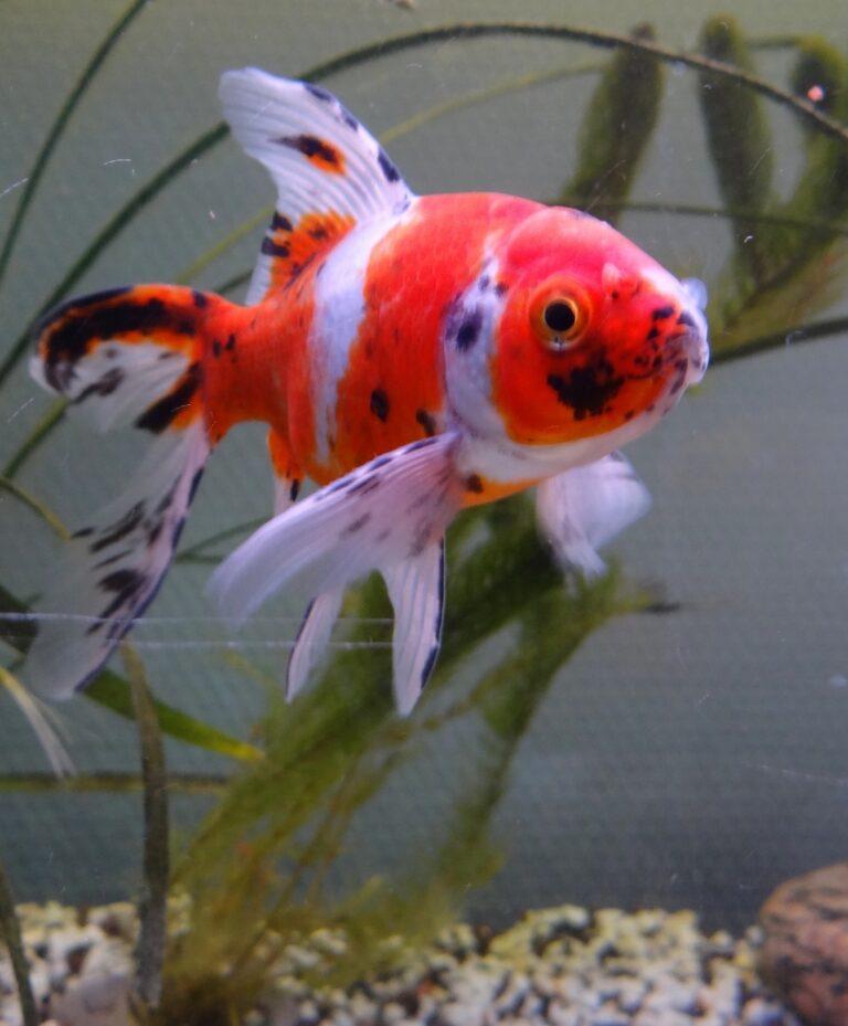 Shubukin Goldfish